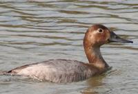 Canvasback (Aythya valisineria)
