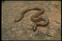 : Charina bottae; Rubber Boa
