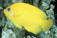 Centropyge flavissima, Lemonpeel angelfish: fisheries, aquarium