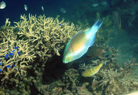 Scarus ghobban, Blue-barred parrotfish: fisheries, aquarium