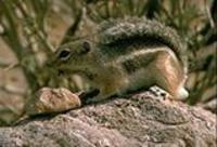 Image of: Ammospermophilus leucurus (white-tailed antelope squirrel)