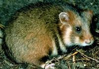 Image of: Cricetus cricetus (black-bellied hamster)