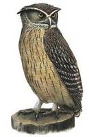 Image of: Bubo blakistoni (Blakiston's eagle-owl)