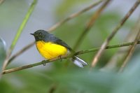 Slate-throated Redstart - Myioborus miniatus