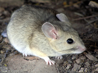 : Neotoma albigula; White-throated Woodrat