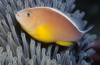 Amphiprion akallopisos, Skunk clownfish: aquarium