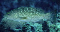 Mycteroperca rosacea, Leopard grouper: fisheries