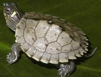 Image of: Graptemys pseudogeographica (false map turtle)