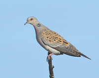 European Turtle-Dove (Streptopelia turtur) photo