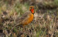 Orange-throated Longclaw - Macronyx capensis