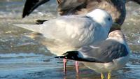 Albinistic Glaucous-winged Gull. Photo by Greg Gillson