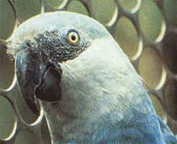 Spix's Macaw (Cyanopsitta spixxi),  the female that was reintroduced to the wild.