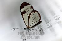 Brush footed butterfly ( Greta oto ) sitting on a information panel stock photo