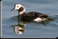 Long-tailed Duck, Barnegat Light, NJ