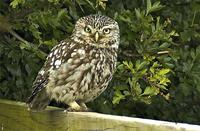 Little Owl at Isombridge 29.05.2005 (Paul King)