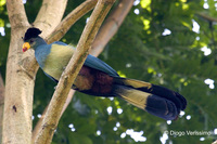 : Corythaeola cristata; Great Blue Turaco