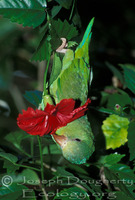 : Pionus menstruus; Blue-headed Parrot
