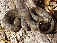 : Nerodia rhombifer rhombifer; Diamond-backed Water Snake