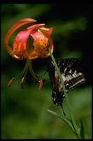 : Papilio eurymedon; Swallow Tail Butterfly