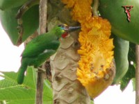 Red-throated Barbet (Megalaima mystacophanos) Male