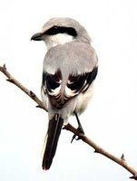 물때까치 Lanius sphenocercus | Chinese grey shrike