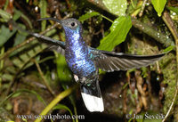 Photo of kolibřík purpurový Campylopterus hemileucurus Violet Sabrewing Alasable Violáceo