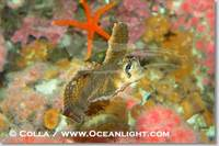 ...Image 07900, Sailfin sculpin., Nautichthys oculofasciatus, Phillip Colla, all rights reserved wo