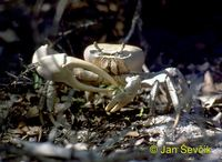 Cardisoma guanhumi - Blue Land Crab