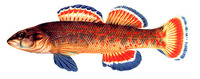 Etheostoma whipplei, Redfin darter: