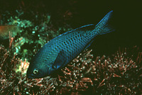 Chromis punctipinnis, Blacksmith: fisheries, gamefish