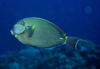 Acanthurus maculiceps, White-freckled surgeonfish: fisheries, aquarium
