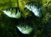 Toxotes jaculatrix, Banded archerfish: fisheries, aquarium