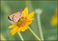 Image of: Hylephila phyleus (fiery skipper)