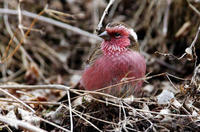 Image of: Carpodacus thura (white-browed rosefinch)