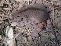 Apodemus agrarius - Striped Field Mouse