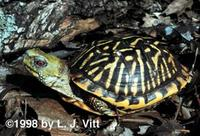 Image of: Terrapene ornata (ornate box turtle)