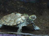 Graptemys geographica - Common Map Turtle