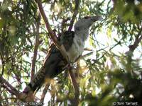 Channel-billed Cuckoo - Scythrops novaehollandiae