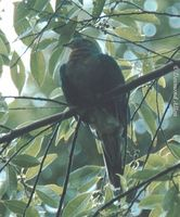 Yellow-breasted Fruit Dove - Ptilinopus occipitalis