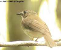 Grey-chested Jungle Flycatcher - Rhinomyias umbratilis