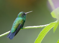 Blue-chinned Sapphire (Chlorestes notatus) photo