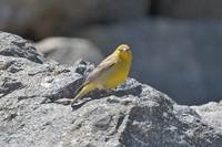Greater Yellow-Finch - Sicalis auriventris