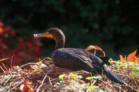 : Phalacrocorax auritus; Double-crested Cormorant