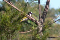 : Phylidonyris nigra; White-cheeked Honeyeater