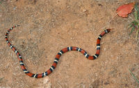 ...elapsoides; Eastern Milk Snake X Scarlet Kingsnake Intergrade