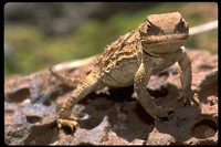 : Phrynosoma hernandesi; Greater Short-horned Lizards
