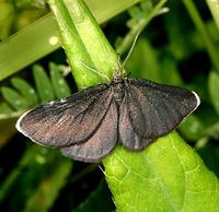 Odezia atrata - Chimney Sweeper