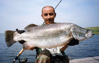 Lates calcarifer, Barramundi: fisheries, aquaculture, gamefish, aquarium
