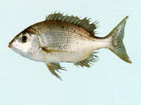 Gymnocranius griseus, Grey large-eye bream: fisheries, gamefish