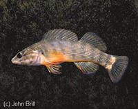 Etheostoma rufilineatum, Redline darter: